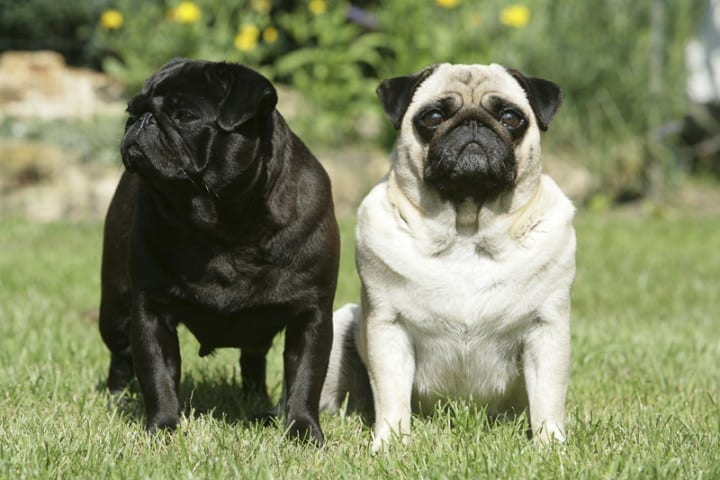 Pug-nation: The history of the pug
