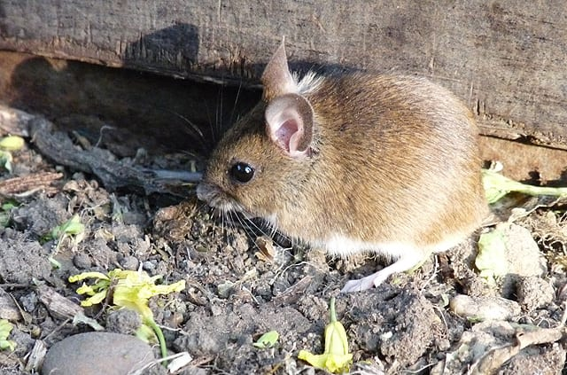 Field mouse in the sun