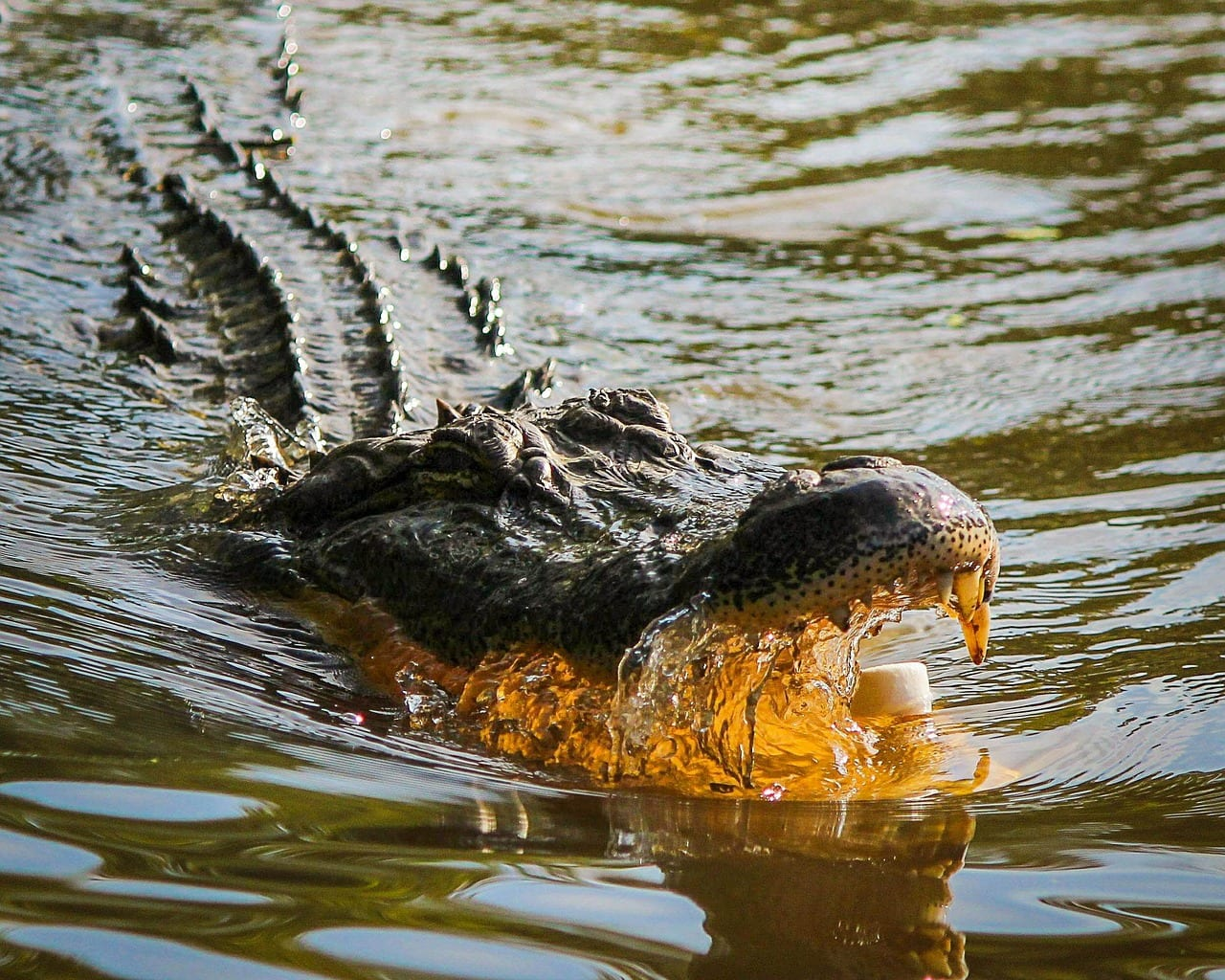 Alligator with its mouth opened