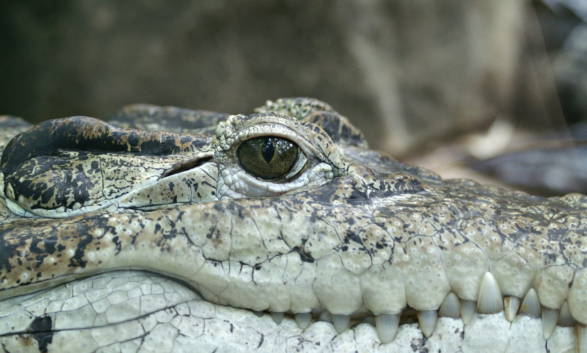 Alligator peering at the viewer
