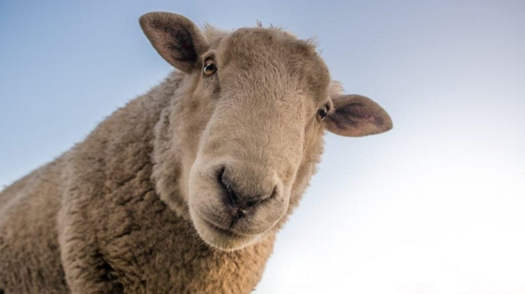 How a rogue sheep led to one of history's greatest archaeological finds