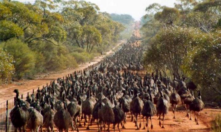 In 1932, Australian farmers went to war against emus