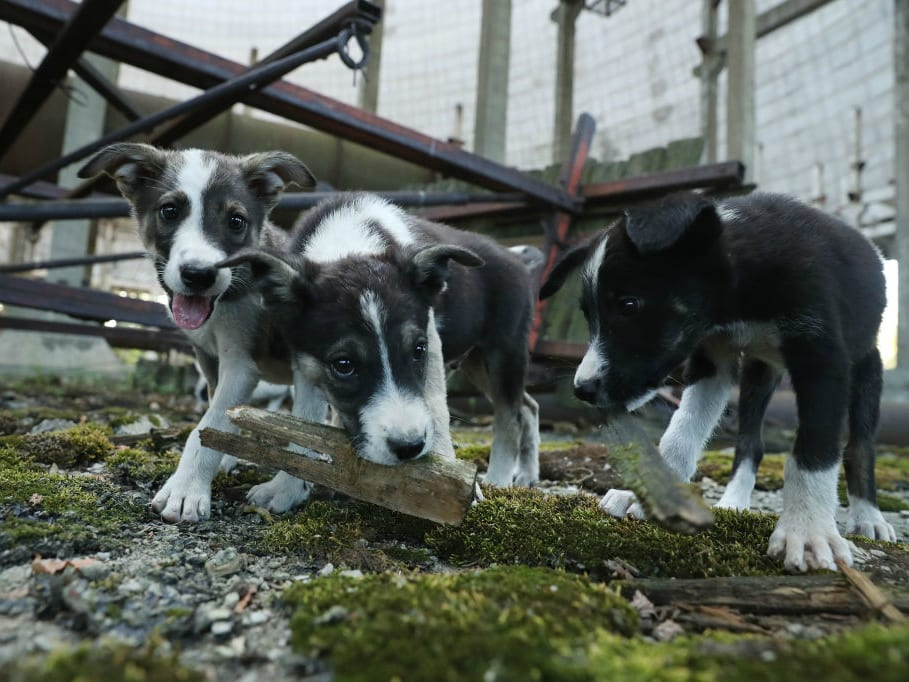 Puppies play in the exclusion zone, Chernobyl