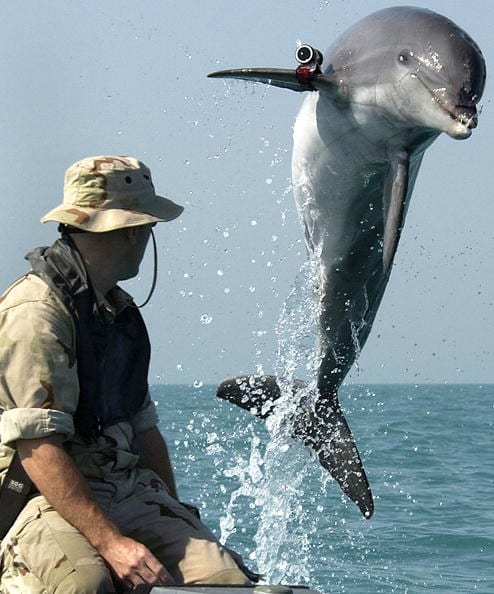 Marine mammals have a storied history of military use.