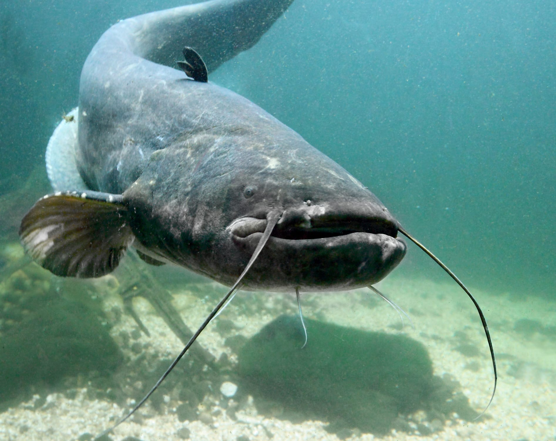 large river catfish