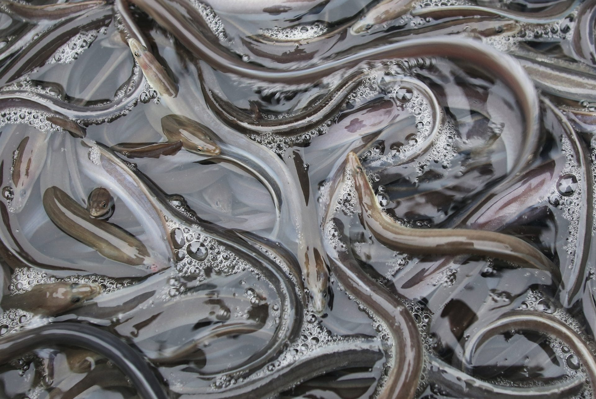 State fishing association exposes 8000 eels