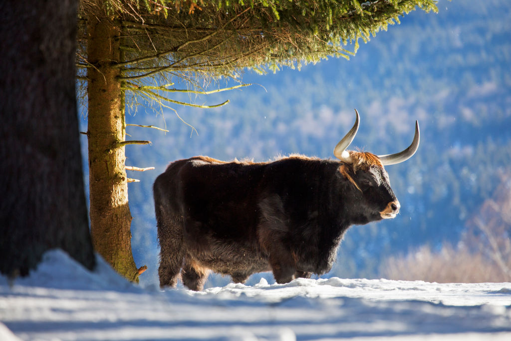 Nazi cows, also known as Heck cattle are now in the UK